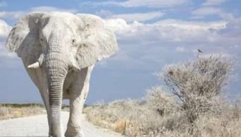 داستان فیل سفید